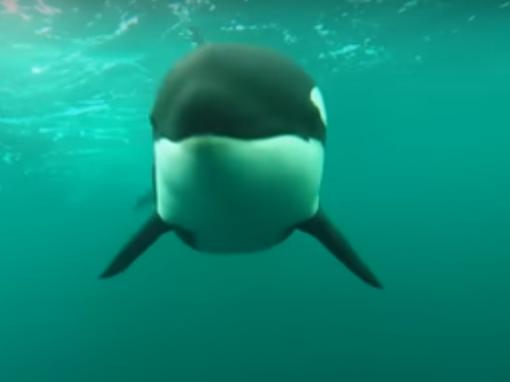 delfinhajsza